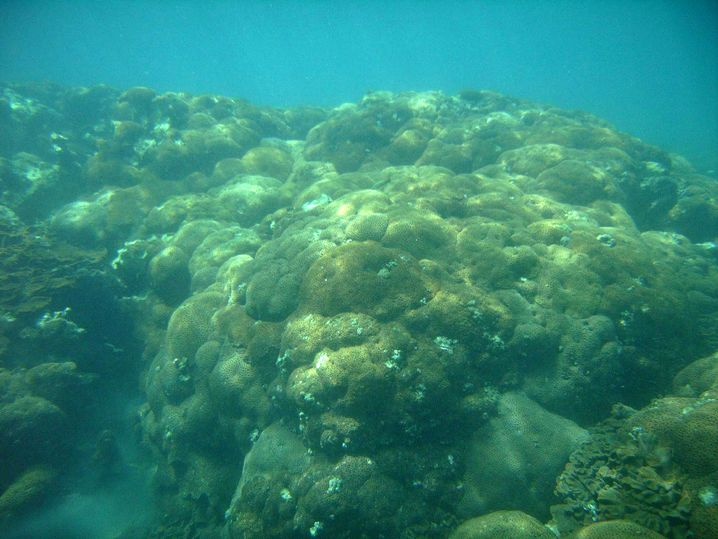 Favia speciosa: Massive, braune Korallenriffe in kühlem Wasser