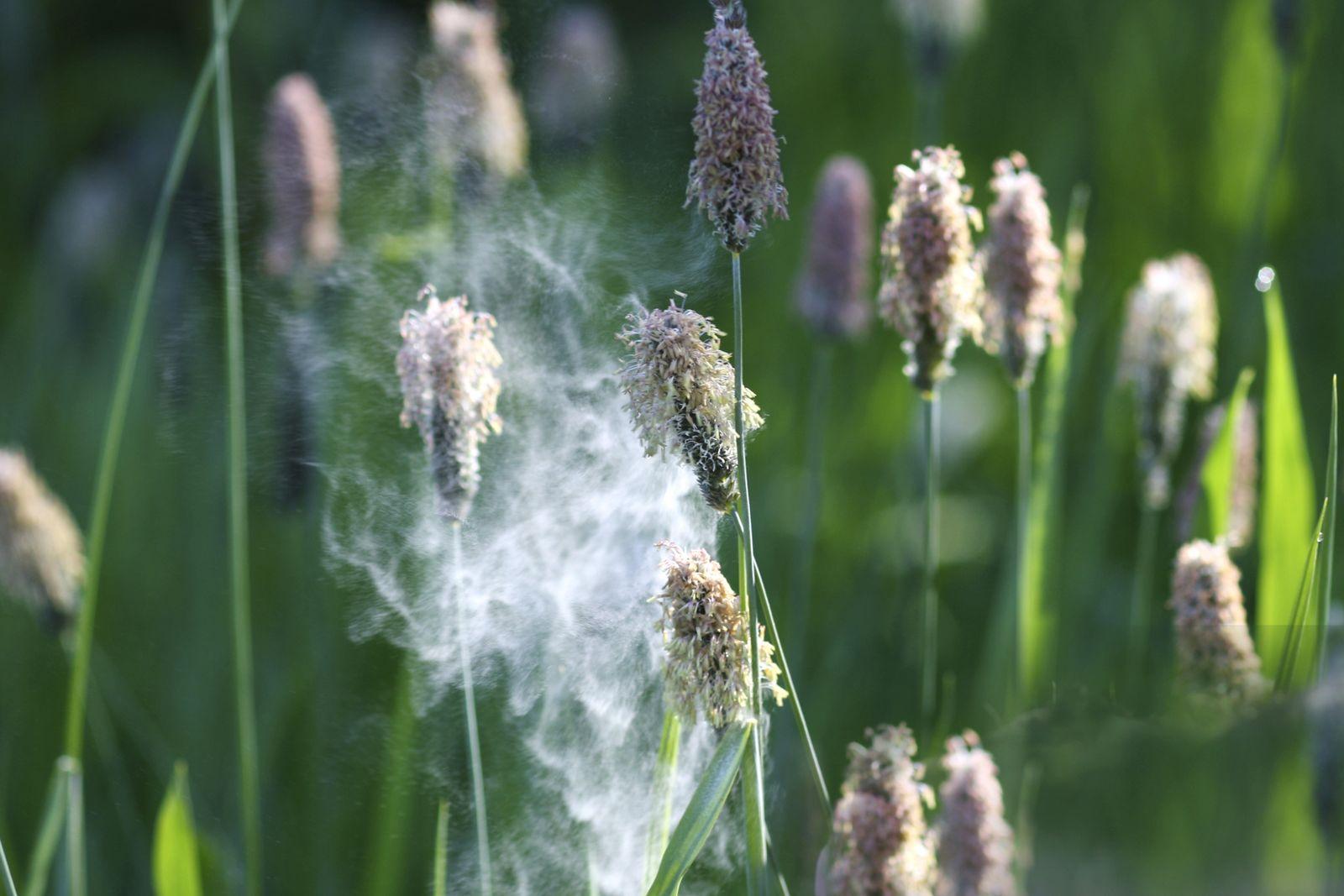 Pollenflug eines Grases, flying pollen of a grass