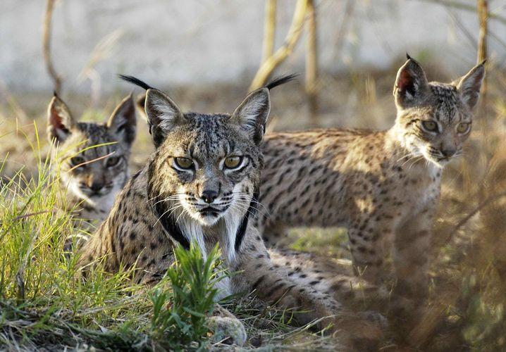 Iberische Luchse: Der WWF erwartet Spendeneinnahmen auf dem Niveau des Vorjahres