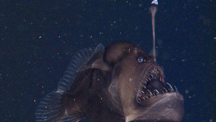 Tiefseeteufel: Kleines Monster mit Leuchtangel