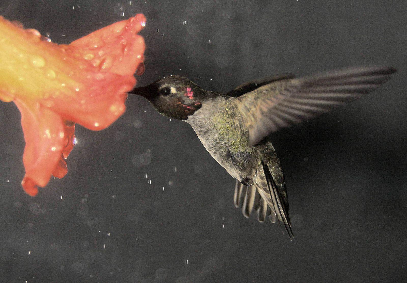 EINMALIGE VERWENDUNG Flug von Kolibris im Regen
