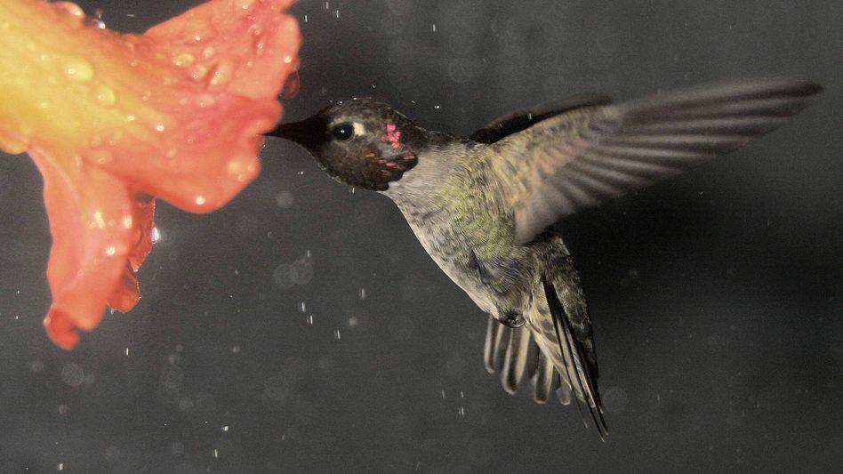 Kolibri im Regen: Volle Kontrolle, auch bei schlechtem Wetter