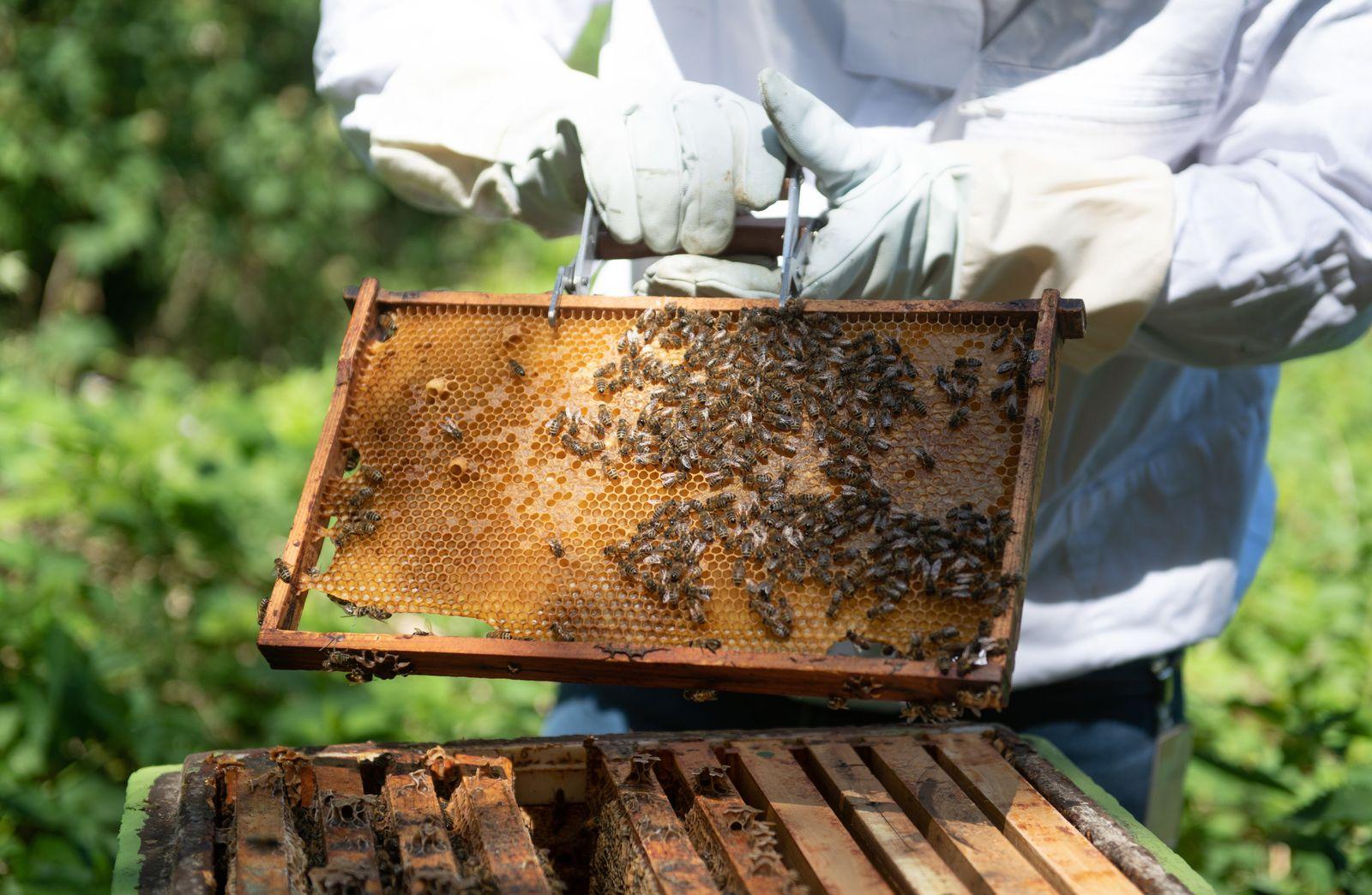 Honigernte der Bienenvölker am Hamburger Flughafen