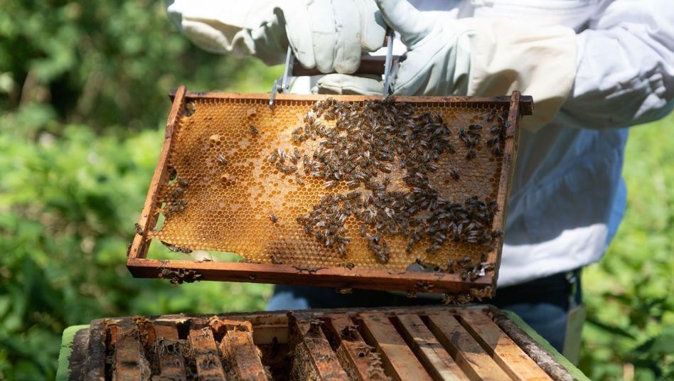 Wabe aus einem Bienenstock