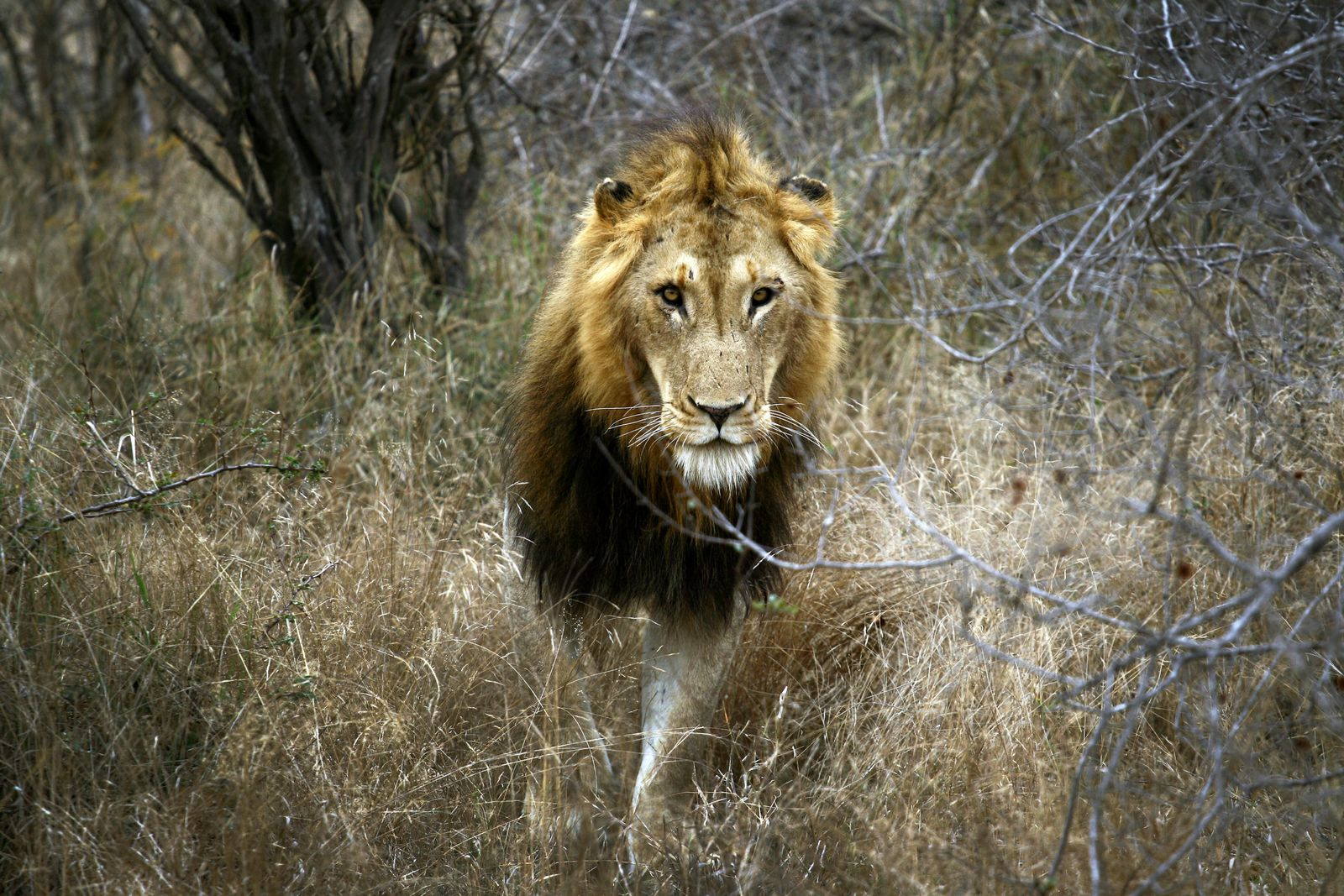 Löwe / Südafrika / Artenschutz