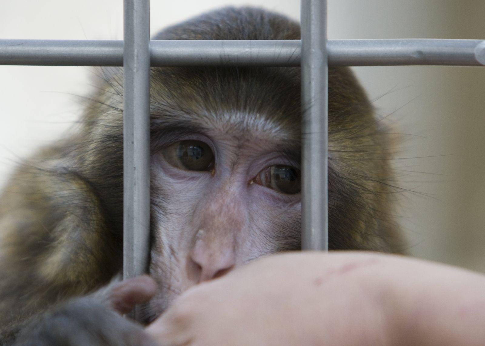Forschung / Makaken / Tierversuche