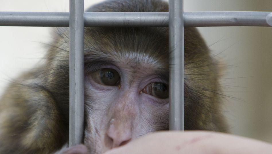 Rhesusaffe im Institut für Hirnforschung der Uni Bremen (Oktober 2008): Streit um Tierversuche