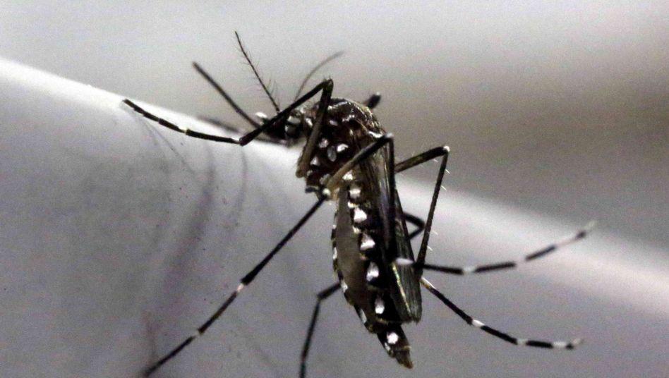 Gelbfiebermücke in brasilianischem Labor: Überträger des Zika-Virus
