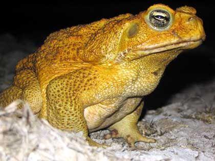 Zuckerrohrkröte: Schmeckt den Wenigsten