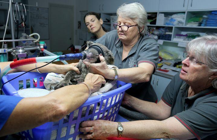 Koala-Klinik in Port Macquarie: Rettung für ein Buschbrandopfer