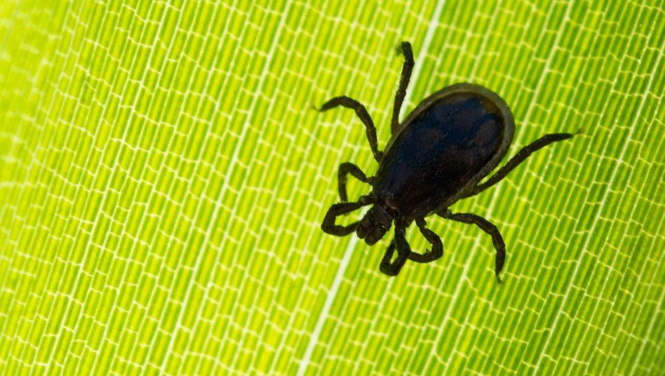 Lyme-Borreliose ist die mit Abstand am häufigsten durch Zecken verbreitete Krankheit