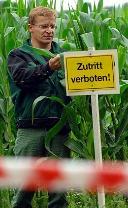 """Brandenburg farmer Jörg Piprek checks his crop of GM corn in this 2005 file photo. The sign reads """"Keep out!"""""""