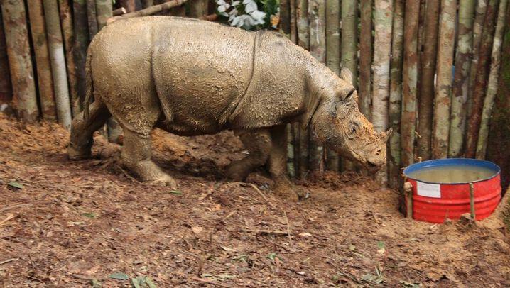 "Sumatra-Nashorn ""Najaq"" ist tot: ""Najaq"" ist tot"