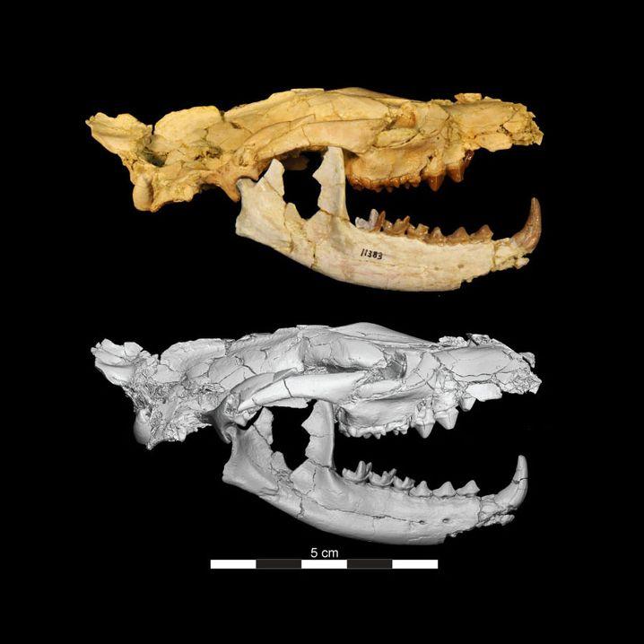 Hyaenodont-Schädel: Klein, aber kräftig