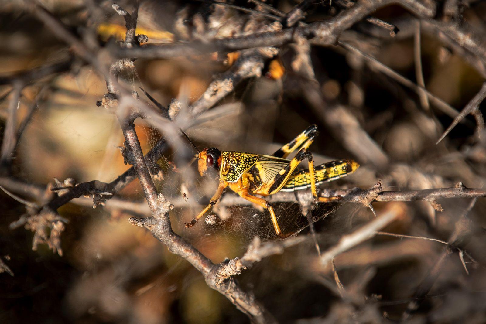 APTOPIX Somalia Africa Locust Outbreak