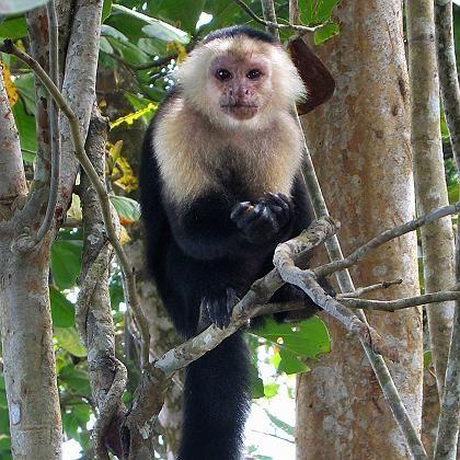 Kapuzineräffchen (in Costa Rica): Sparen ist keine menschliche Erfindung