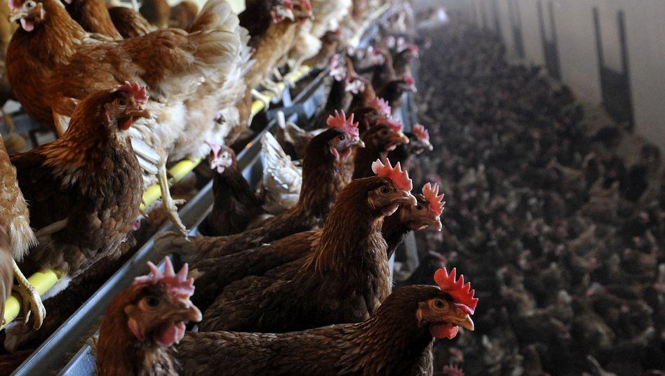 Legehennen: Es geht um Betrug sowie Verstöße gegen das Lebensmittelgesetz