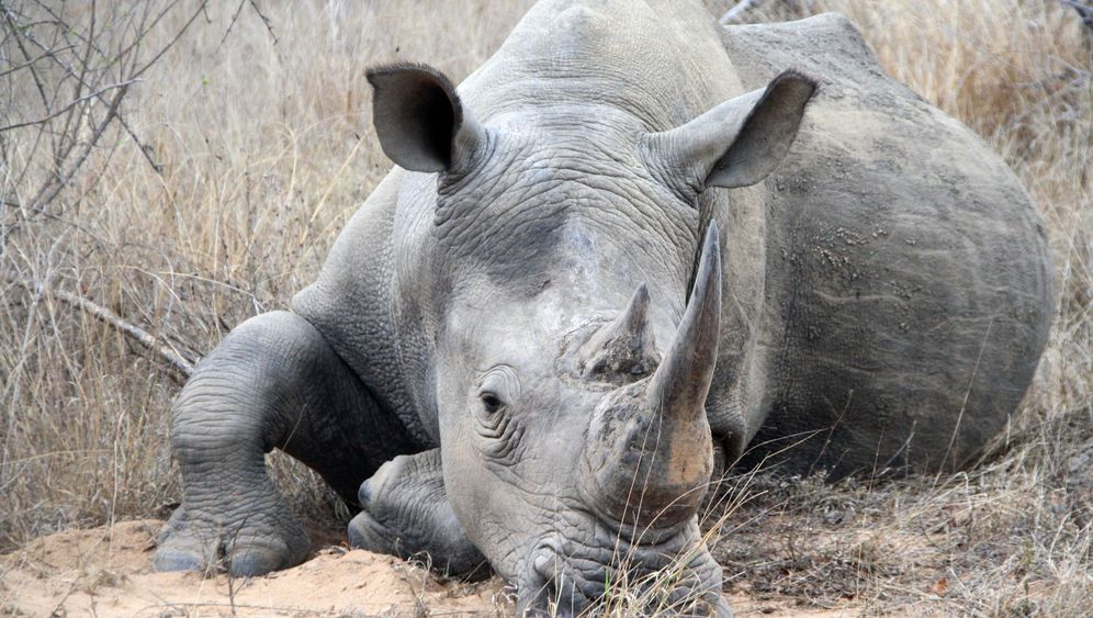 Südafrika und Botswana: Der Kampf um die Nashörner