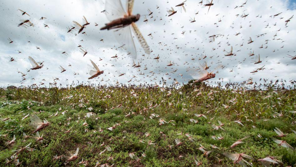 Schwärme von Wüstenheuschrecken fliegen über einem Feld in Kenia (Foto von Ende Januar): Größter Schädlingsbefall seit 70 Jahren