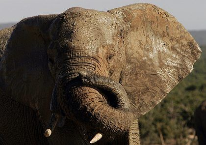 African elephants are once again being hunted in large numbers for their tusks.