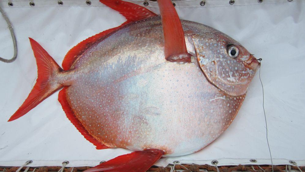 Gotteslachse: Warme Fische schwimmen schneller