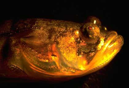 Bootsmannfisch: Lautstarke Arien für die Weibchen