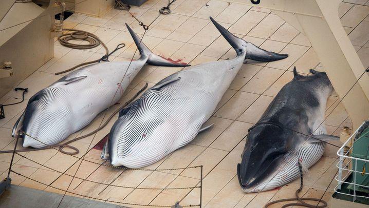Japan auf Walfang: Trotz Verbots in die Antarktis