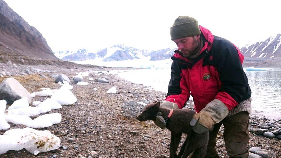 Fuchs mit GPS-Sender: Dieses Jungtier wurde im März 2018 in Spitzbergen ausgesetzt - und lief bis Kanada