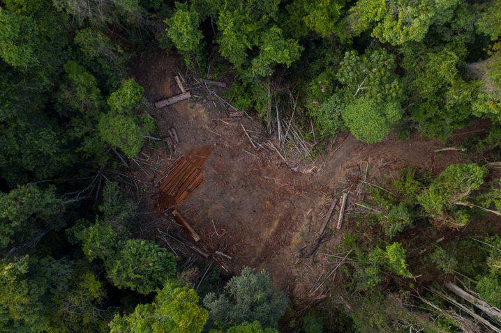 Der Regenwald ist für viele ein Geschäft, in der Pandemie nimmt der Kahlschlag zu