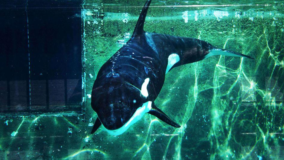 """Gestrandeter Orca im Delfinarium von Haderwijk: """"Schwach und mager"""""""