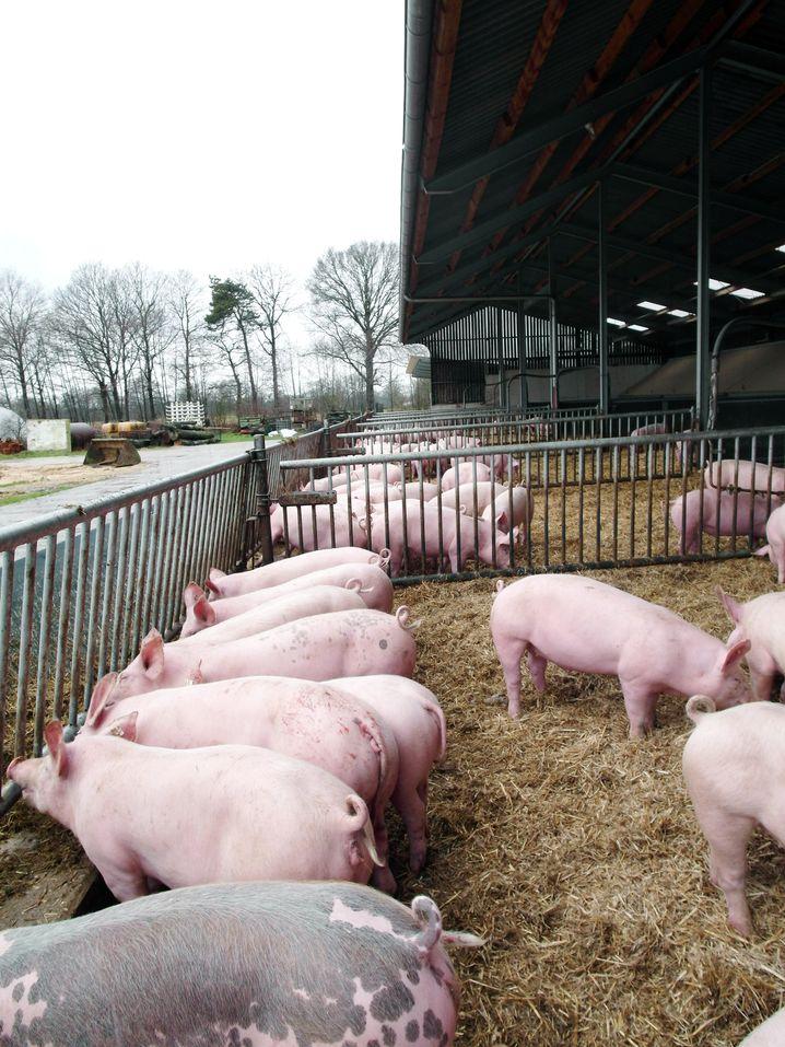 Bioschweine auf Bäumers Hof im Auslauf