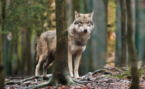 Wolf in Sachsen-Anhalt