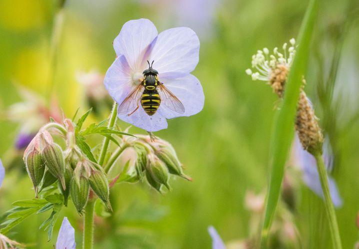 Hatschi: Wiesen sind wunderschön, aber für Allergiker oft problematisch. Im Sommer machen ihnen vor allem Gräserpollen das Leben schwer.