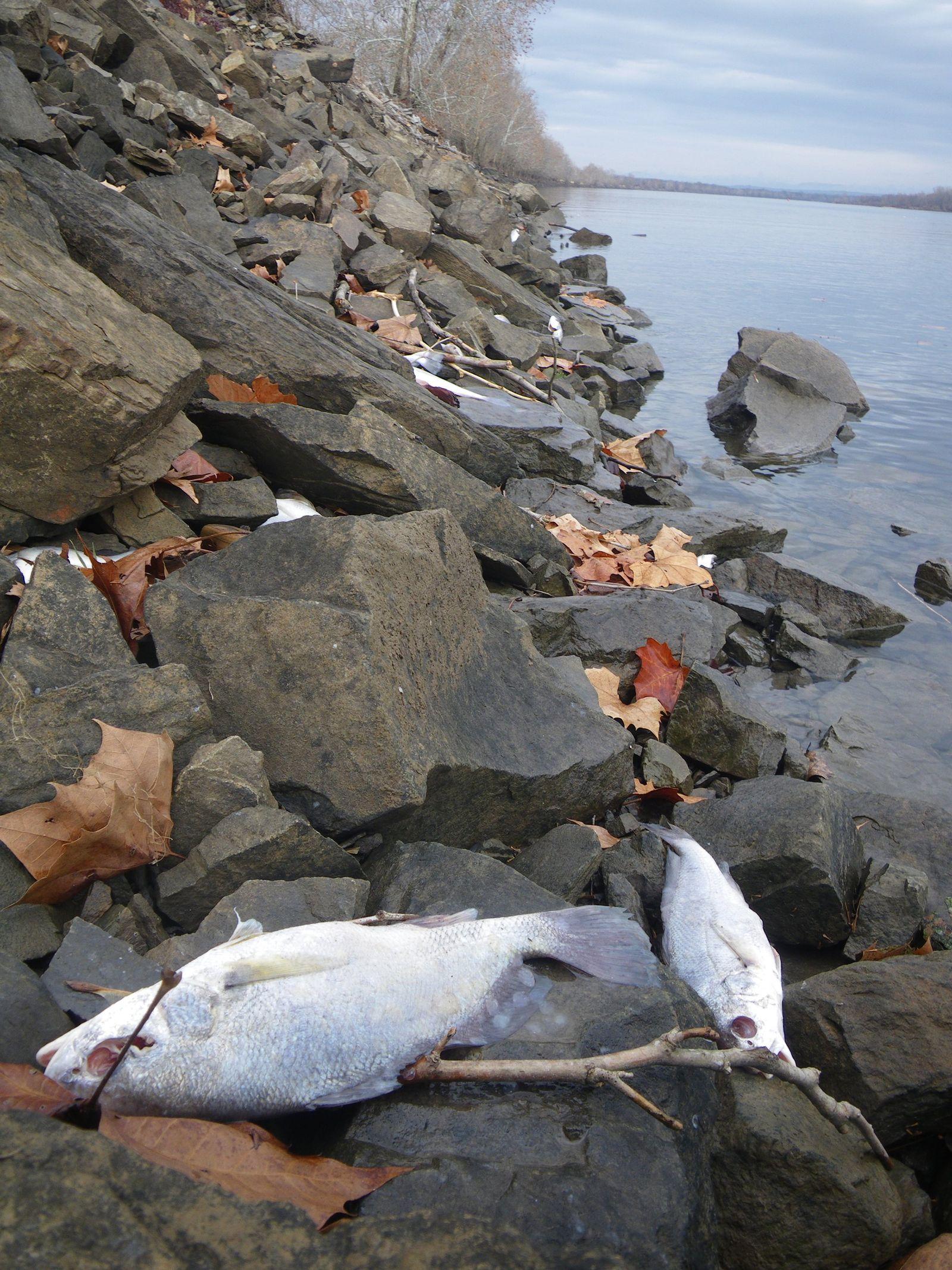 EINMALIGE VERWENDUNG Fisch Massensterben / Arkansas