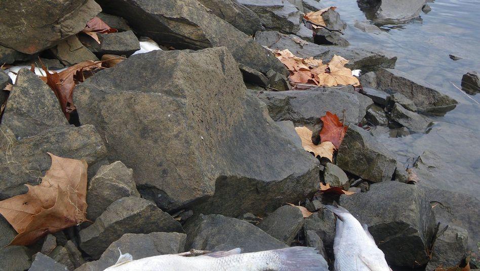 Tote Fische (hier im US-Bundesstaat Arkansas): Diskussionen über Massensterben