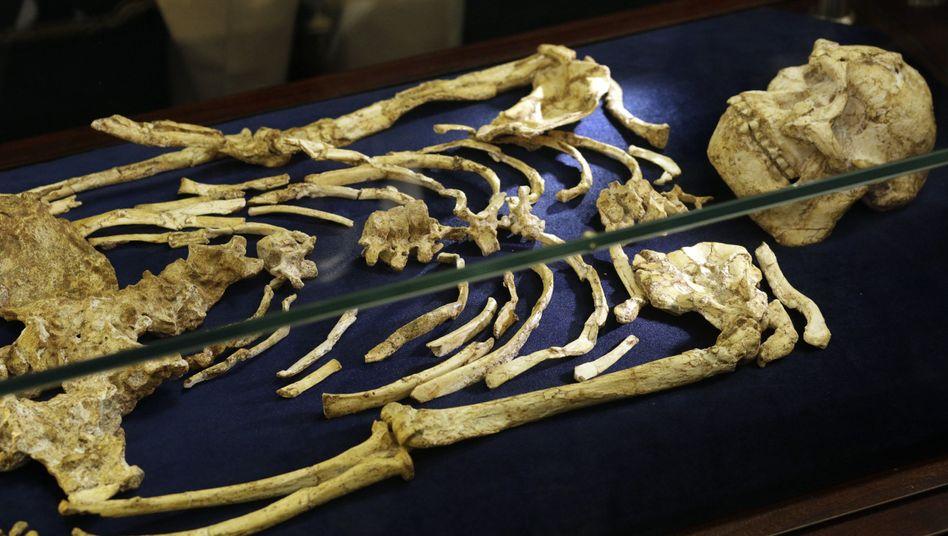 """Australopithecus """"Little Foot"""""""