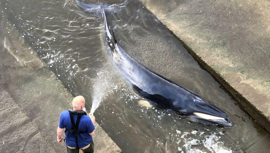 Hilfsaktion für Wal an Staustufe in London