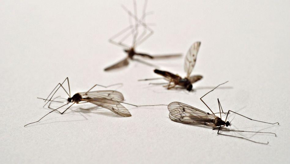 Tote Mücken