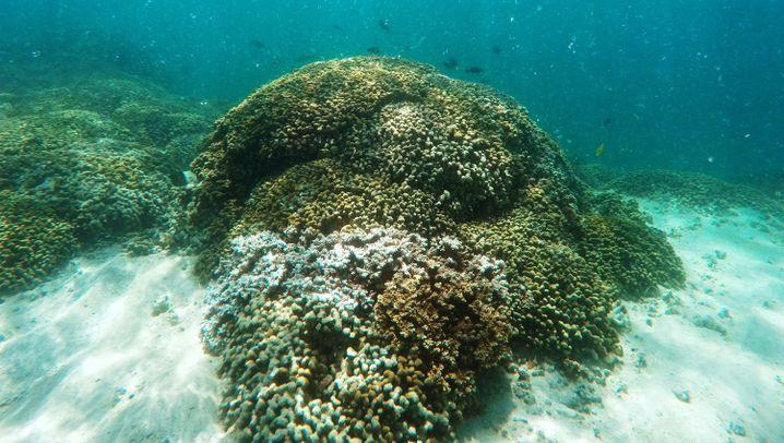 Nesseltiere: Die Korallenzüchter aus Hawaii