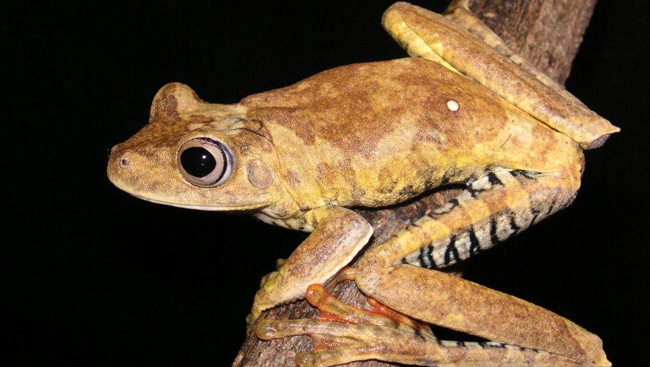 Vertreter der Gattung Hypsiboas: Versteckte Arten entdeckt