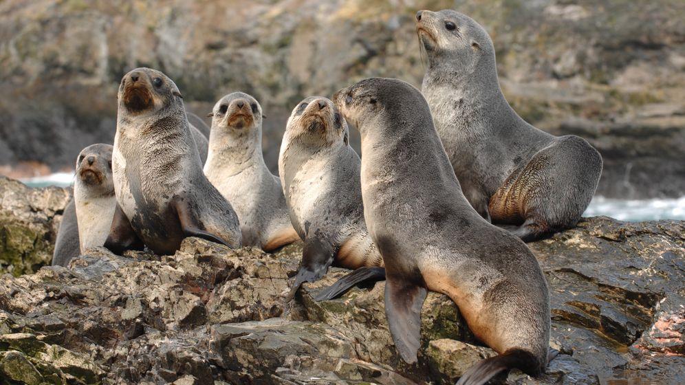 Hungernde Seebären: Vergebliche Suche nach Krill