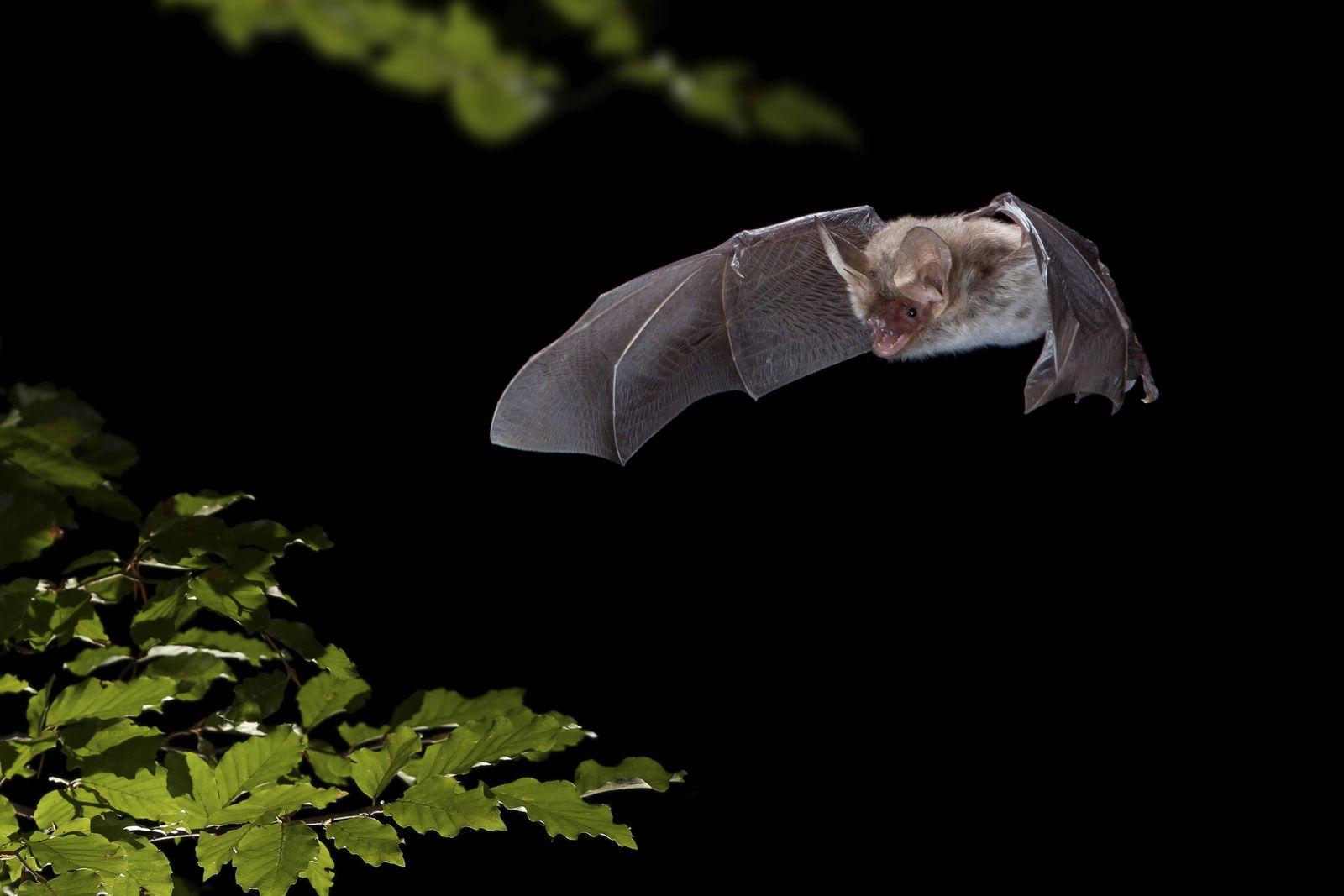 Bechsteinfledermaus Bechstein Fledermaus Myotis bechsteinii jagt in der Nacht Niederlande Bechs