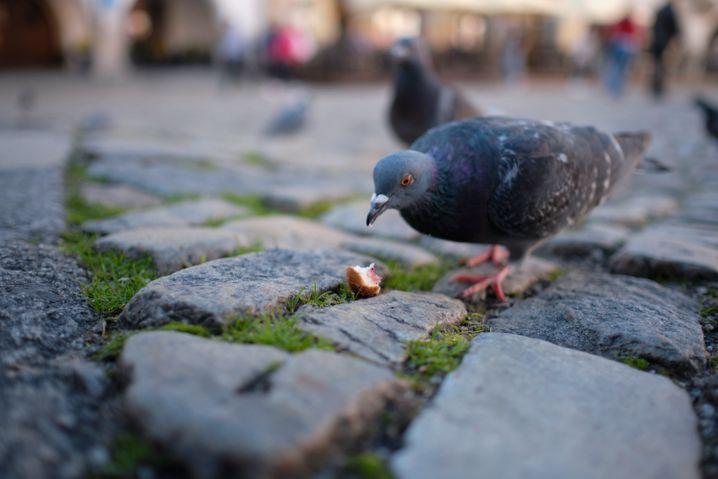 """Tauben in der Stadt: """"Oben Futter rein, unten Eier raus"""""""