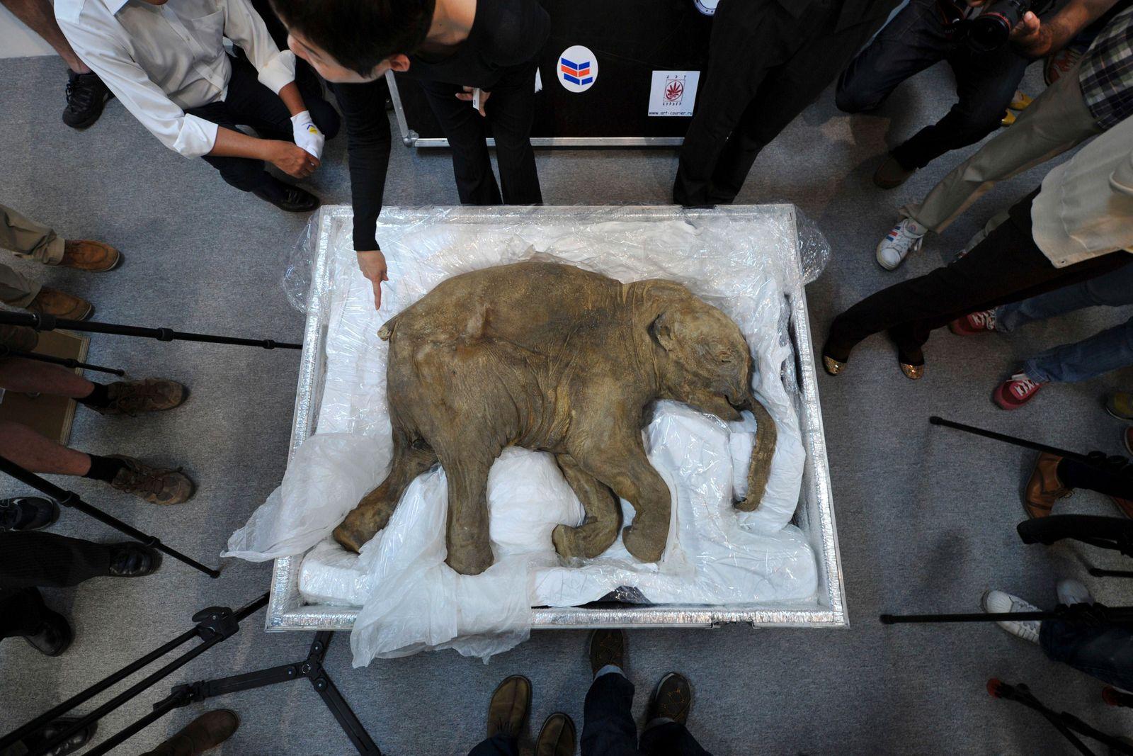 TOPSHOTS 2012 - HONG KONG-RUSSIA-MAMMOTH-ANIMAL