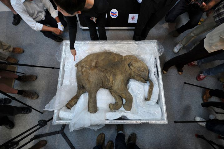 An approximately 42,000-year-old mammoth calf discovered preserved in permafrost