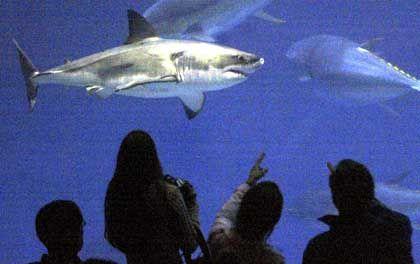 Weißer Hai: Unnahbarer Räuber