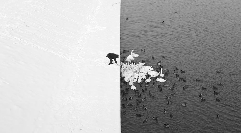 EINMALIGE VERWENDUNG A Man Feeding Swans in the Snow
