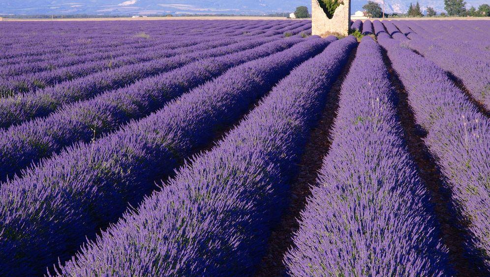 Lavendelblüte: Duft der Provence