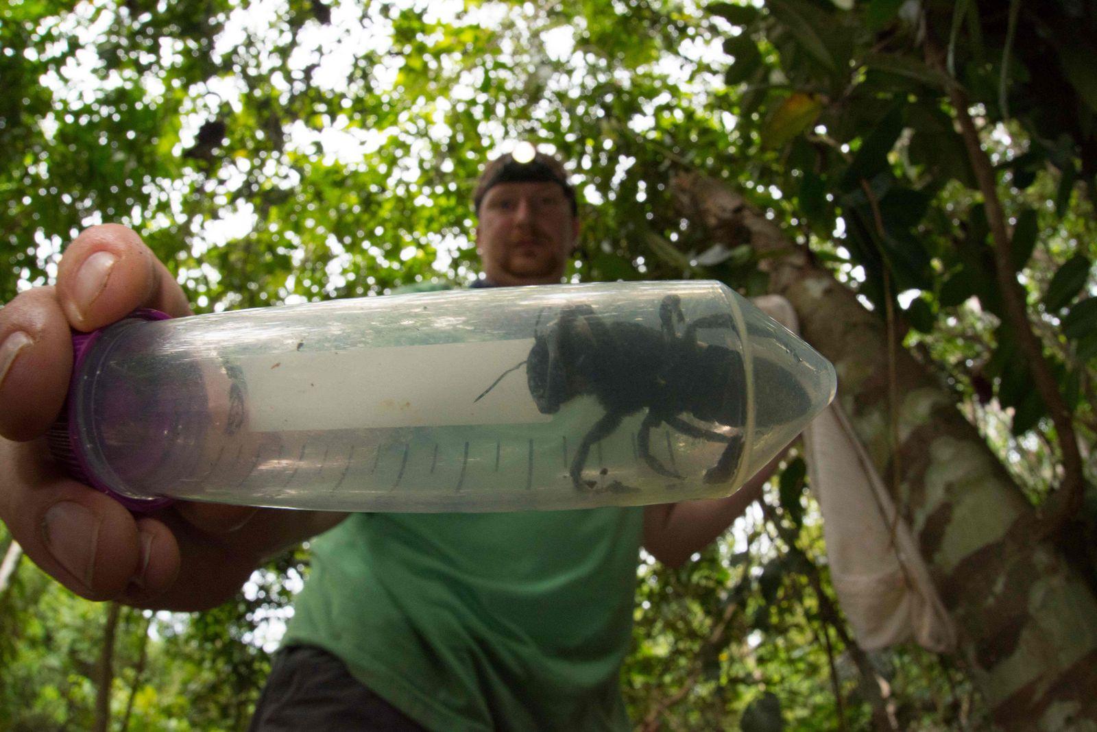 Biene Indonesien