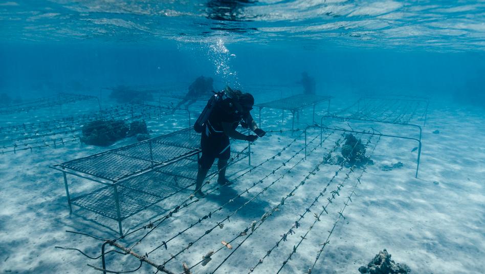 Die Coral Gardeners hängen vor Moorea kleine Korallen an Leinen, bis sie groß genug sind, um im Riff angesiedelt zu werden